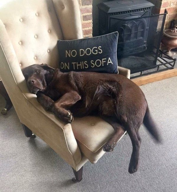 And they didn't fit on the sofa or chairs any more. | 28 Things You'll Only Understand If You Have A Labrador