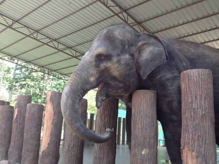 kuala gandah elephant sanctuary in Lanchang, Pahang