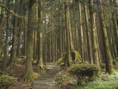 Cedar Forest Alishan National Park by Christian Kober