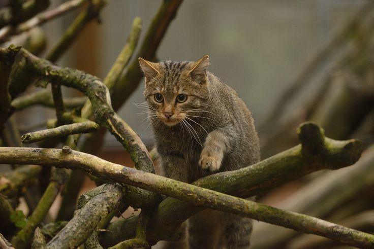 https://flic.kr/p/pQjM9g | European Wildcat (Felis silvestris silvestris) | Wildcat reserve, Thayatal, Weinviertel, Austria.  You don't want this kitten in your house - watch the pink nose !
