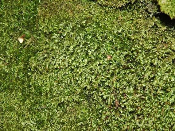 zploštělec sleziníkový (HOMALIA TRICHOMANOIDES) V ČR poměrně běžně od nížin do hor. Nejčastěji na kůře listnatých stromů,většinou bazických skalách a kamenech. Rostliny poměrně robustní, až 7 cm dlouhé, světle zelené. V terénu dobře rozpoznatelný druh. Listy na lodyze dvouřadě odstálé, za sucha dolů zahnuté.