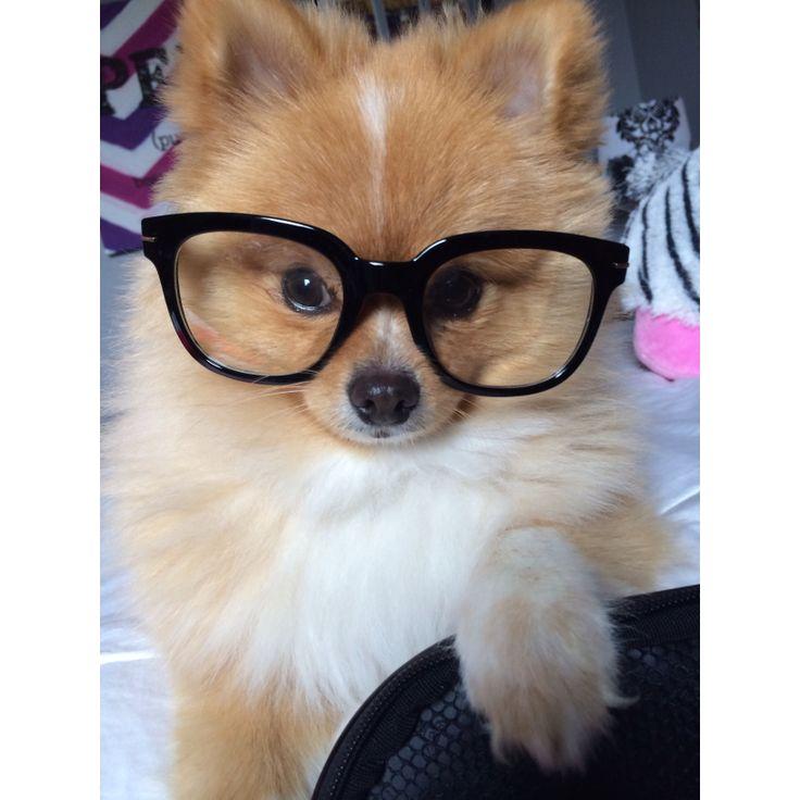 Baxter the Pomeranian