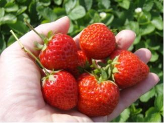 Baumschule Eggert - Blütensträucher, Baumschulen, Heckenpflanzen - Fragaria Ostara, Erdbeere Ostara Immertragende Erdbeere, Walderdbeere, Remontierende Erdbeeren .Fragaria Ostara