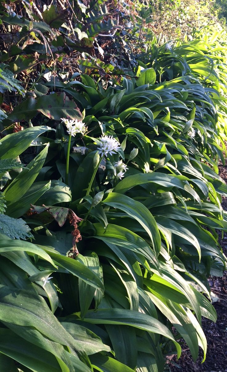 We picked wild garlic from the hedgerows this weekend and made scrummy homemade…