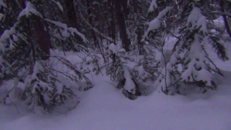 Поход в зимнюю тайгу. Встретил огромный кедр и собрал с него кедровую см...