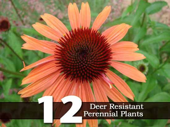 12 Deer Resistant Perennial Plants... qualification = if deer are hungry enough, they'll eat anything.  But why tempt them?!