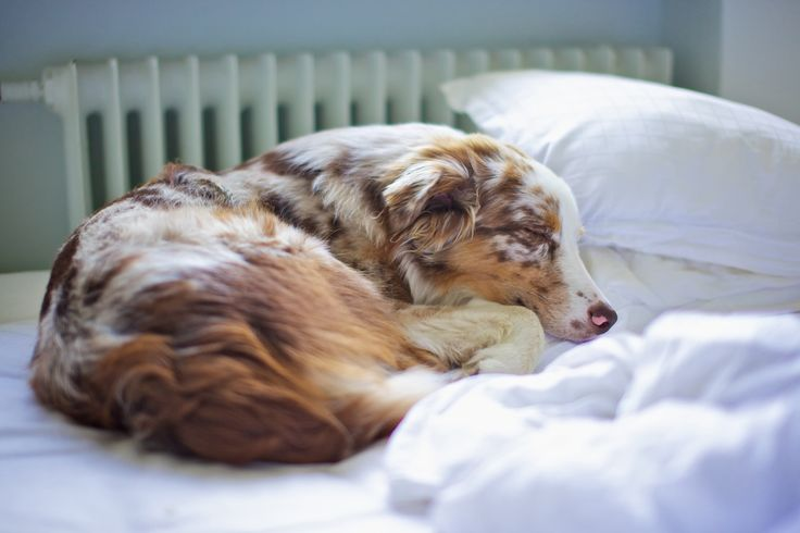 Red Merle Australian Shepherd. I love when Aussies sleep because they always look so peaceful and content.