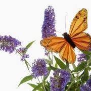 Butterfly Bush Care & Maintenance | eHow