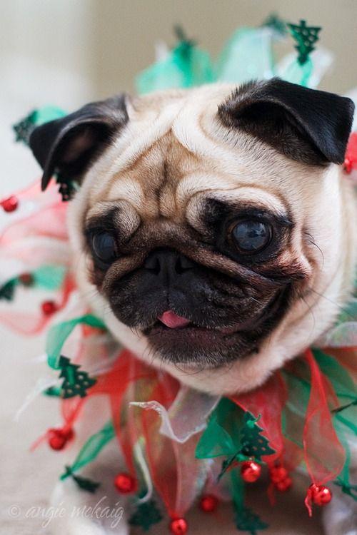 Christmas pug!