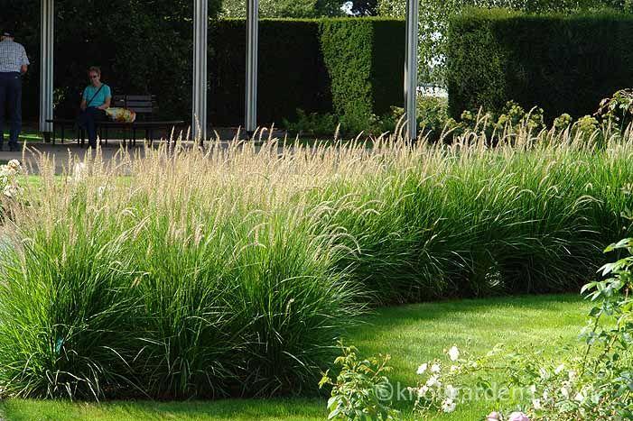 Pennisetum Fairy Tails ornamental grass perennial