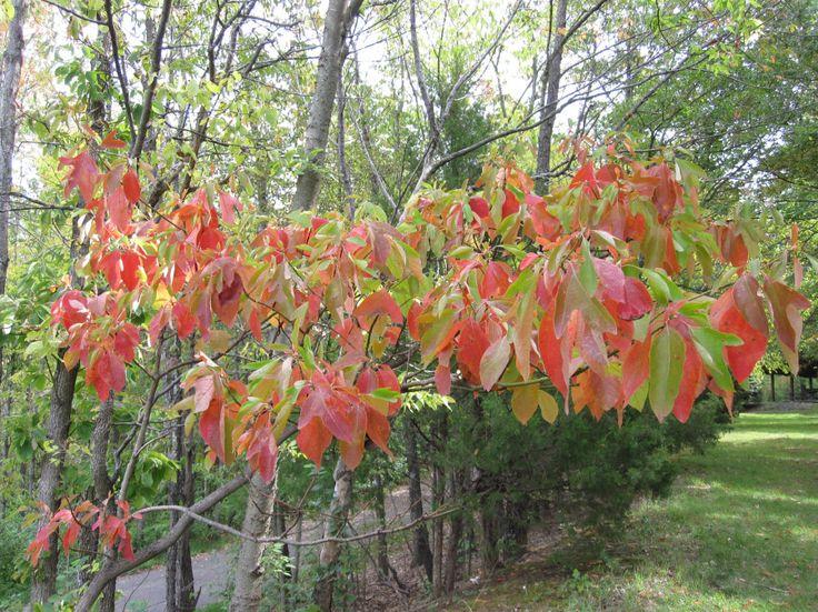 sassafras tree | Sassafras tree leaves fall