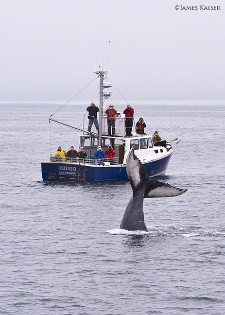 Humback Whale, Acadia National Park, Maine. Learn more about whale watching on my website.