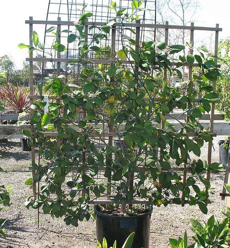 Berry Arbors: Sustainable Growing Citrus Amp Fruit Trees Bushes Amp