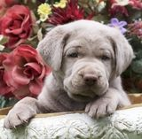 silver lab puppies, silver labs for sale