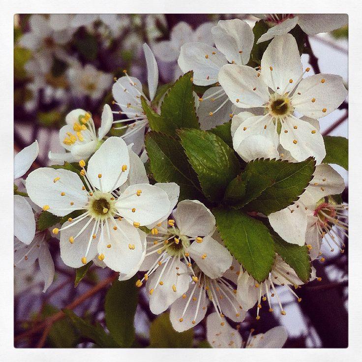 Flor de Manzano  #flor #flower  Viña del Mar  Iphone camera + instagram Foto MMM