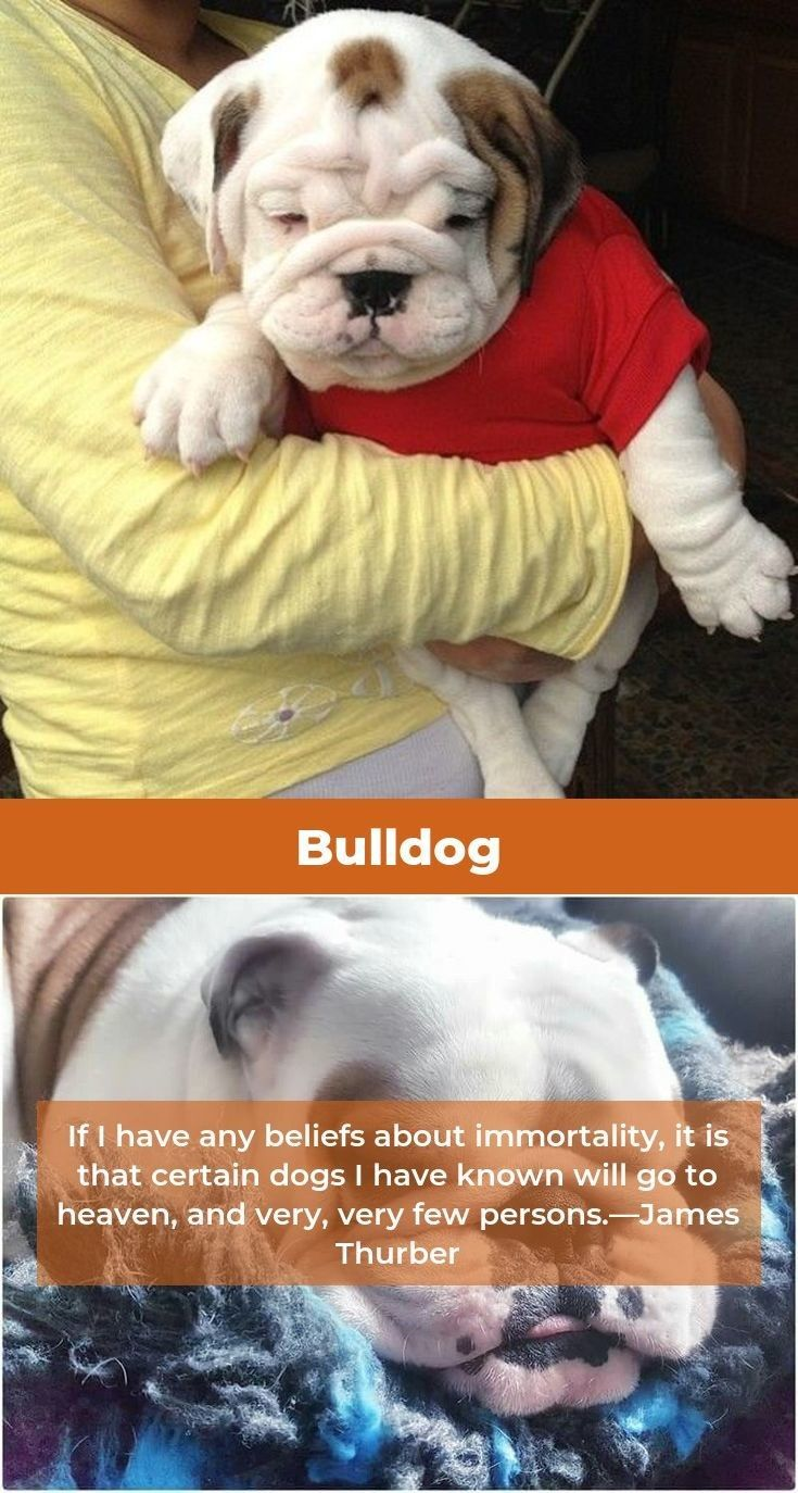 Bulldog Pup Bulldogstuffbesties Bulldogsofig Losing A Dog