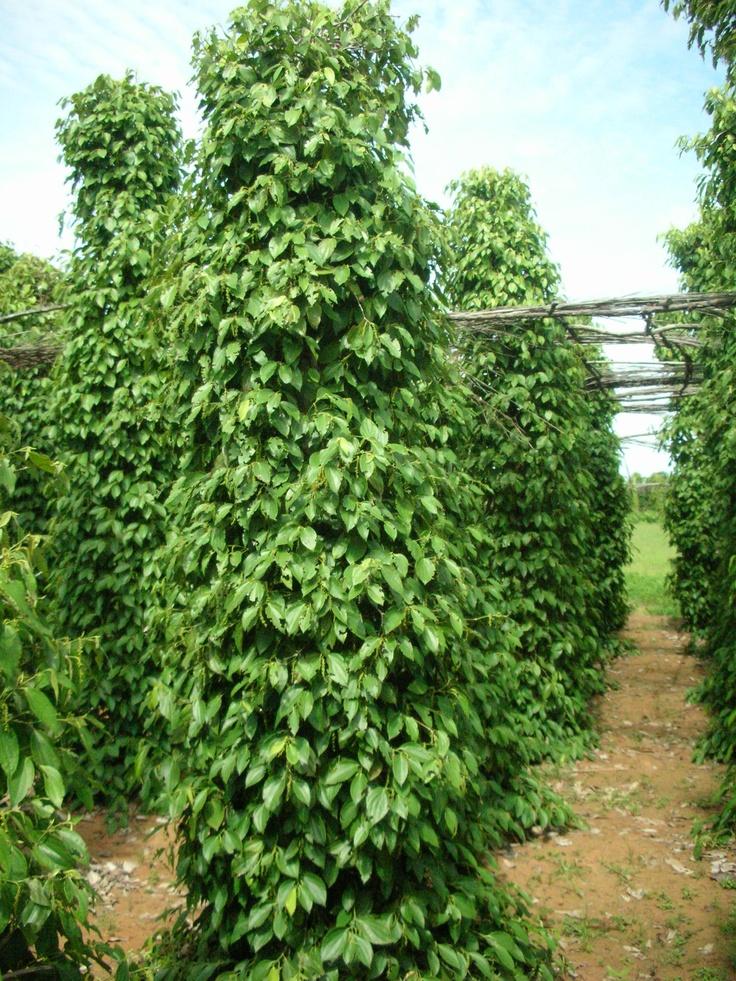 die pfefferpflanze kann bis zu 30 meter hoch wachsen f r den anbau auf der plantage wird sie. Black Bedroom Furniture Sets. Home Design Ideas
