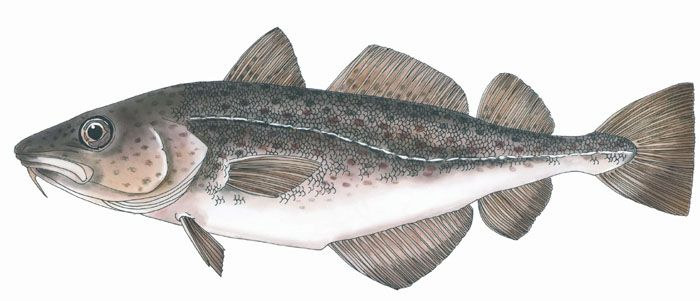 Cod fish painting google search things i like for Benefits of cod fish