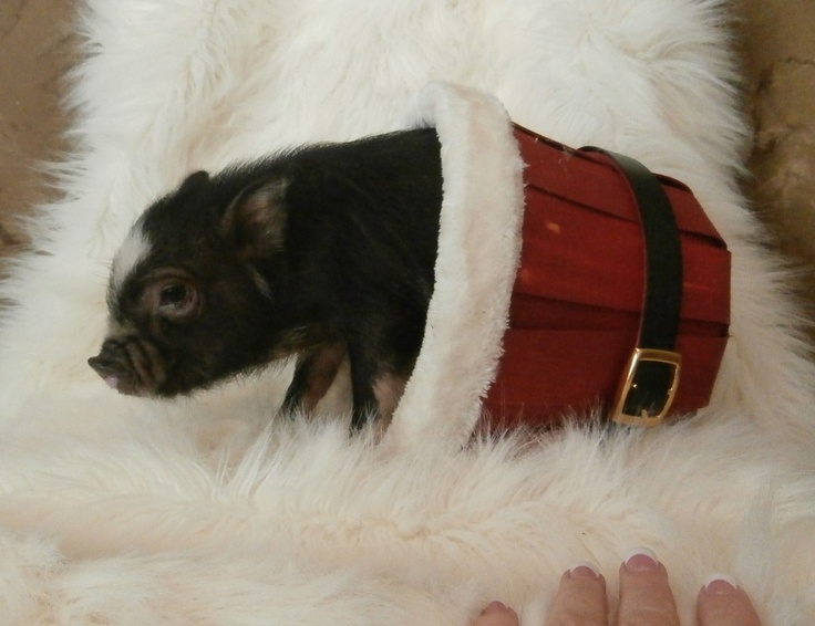 1000+ ideas about Teacup Pig Price on Pinterest | Micro ...