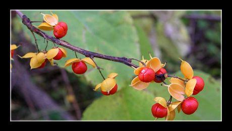 American bittersweet (Celastrus scandens) este o liană lemnoasă și unul dintre cei 30 – 40 de reprezentanți ai genului Celastrus, familia Celastraceae. Este o plantă nativă din continentul nord-american, de climat temperat – ceea ce este interesant, deoarece majoritatea...