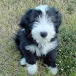 Bearded Collie Puppy.  Love, love, love.