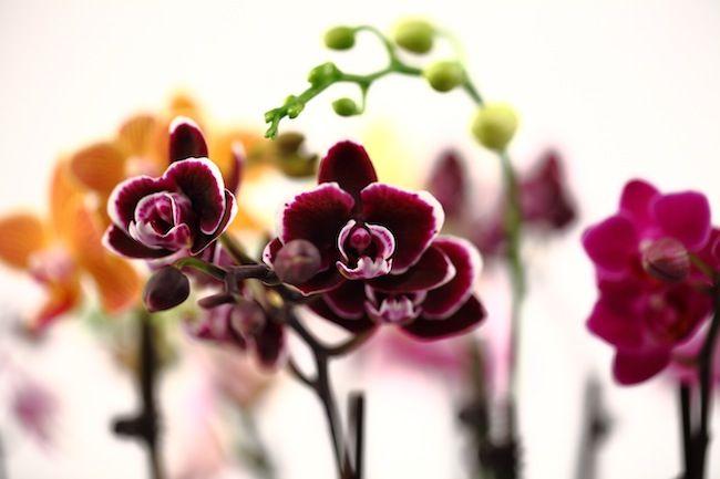 black pearl mini orchid