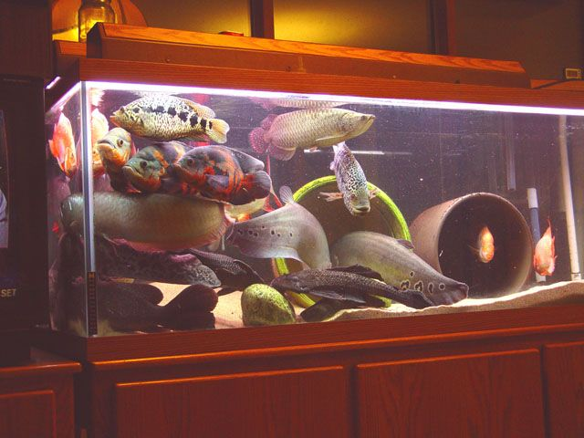 Discustankmates moreover Electric Blue Acara Cichlid Tank Mates further Girls 20legs also Red Tiger Oscar Vs Giant Snakeheads as well Tetra Fish Online India Buy Tetra Fish Online Buy Tetra Fish Food Tetra Fish Caretetra Fish. on oscar fish tankmates