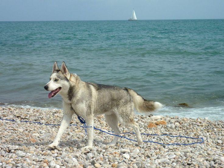 Sibirien Husky Nanook Ich will wieder Sommer! ☀ Hundename: Nanook / Rasse: Sibirien Husky      Mehr Fotos: https://magazin.dogs-2-love.com/foto/sibirien-husky-nanook-2/ Foto, Hund, Sommer