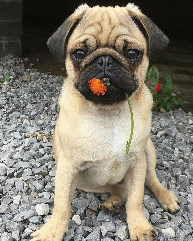 "Reposting @join_the_pugs: 🌼Thank you to @puggy_the_pugmeister! 🌸TAG us to be featured 📷⠀ ~⠀ ""I love bringing my mum flowers 🌺 it makes her smile""⠀ ~⠀ #furbaby #flowers #present #pug #pugsofinstagram #pugpuppy #pugs #puglife #pugstagram #puglove #pugfamily #ilovemypug #ilovemydog #love #smilingpugs #dailypug #dailydog #dog #pet #pup #puppy #dogsofinstagram #dogoftheday #handsome #puppylove #puppyoftheday #pugsnotdrugs #carlino"