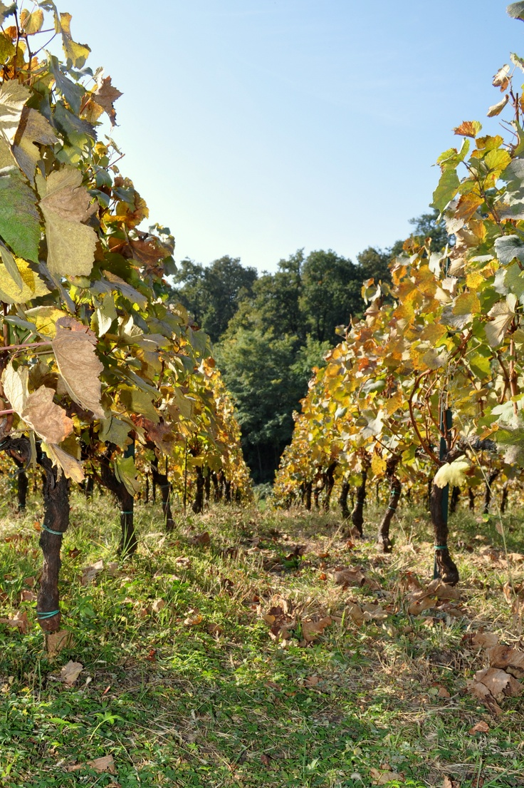 Ca' Del Bosco vineyard, Italy