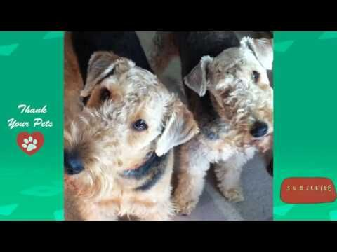 All About Airedale Terriers | The ideal family buddy | Thank Your Pets  https://youtu.be/f95mg1tszZQ  Rottweiler Hunting Wild Boar |Who would win in a Fight | Thank your pets  https://www.youtube.com/watch?v=bE4m5U8lQyA  Highlights about Airedale Terrier Like all Terriers Airedales have a natural inclination for digging (usually in the middle of a beautiful flower garden) chasing small animals and barking.  The Airedale Terrier is an active collector of human memorabilia. He will pick up…