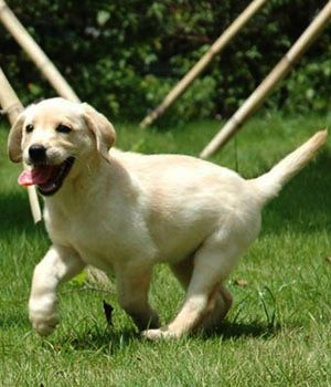 Http Www Dogbreedslist Info Large Dog Breeds