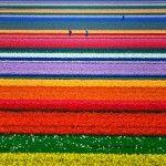 tulipes Hollande