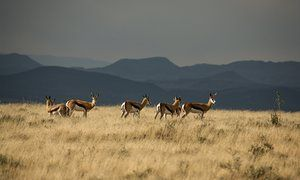 Springbuck on the plateau at the Mountain Zebra National Park outside Cradock