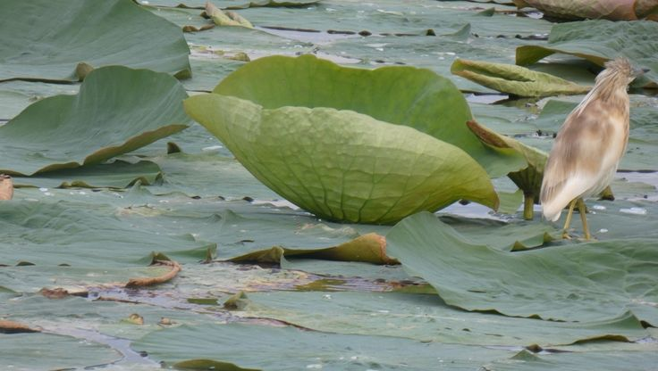 Ospite sulle foglie dei fiori di loto