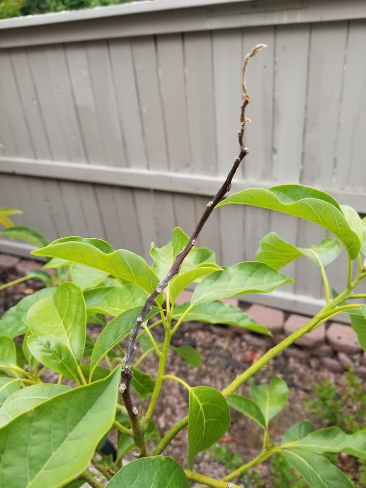 how to plant an avocado tree in california