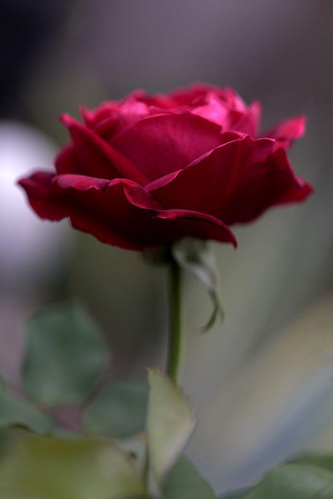 Rose Flower Essences Beautiful Flowers Colorful Roses