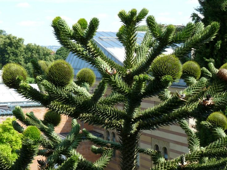 http://faaxaal.forumgratuit.ca/t2295-photo-d-arbre-araucaria-du-chili-desespoir-du-singe-araucaria-araucana-araucaria-imbricata-monkey-puzzle#4519