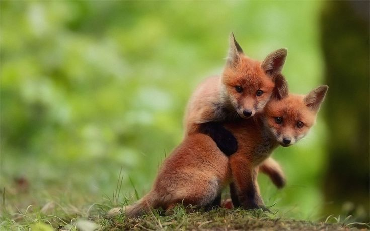 two cute baby fox brothers by @Florian Girardin