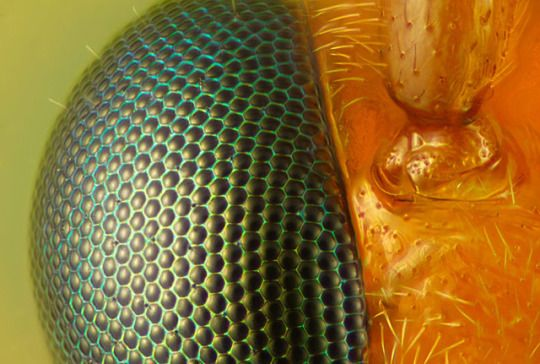 This is a wasp's eye, composed of many individual visual receptors, each at slightly different angles, allowing for a wide range of vision and excellent motion detection. The protrusion on the right side of the photo is the base of the wasp's antenna.
