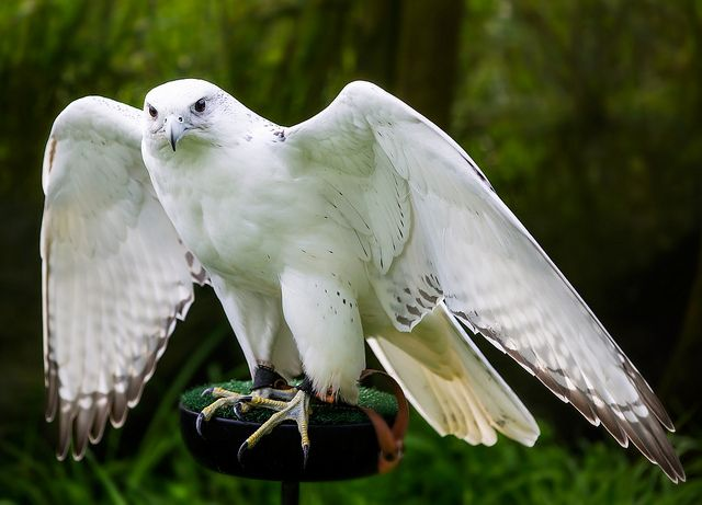 White Hawk In Flying Mode White hawk is very excellent ...