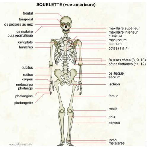 Dessiner ou peindre le corps humain – Eléments d'anatomie – Partie n° 1