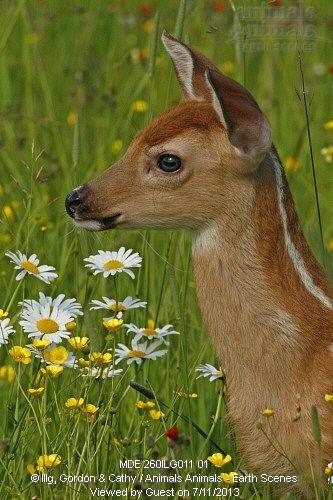 White-tailed deer (Odocoileus virginianus) fawn in wildflowers. Pine County, MN, Minnesota