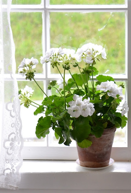 White Geranium / Clay pot on sill, with a peek of lace.