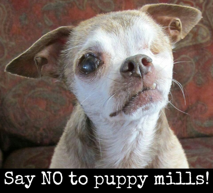 puppy mills speech outline Начните пользоваться music therapy essay outline  some persuasive speech ideas  adopting pets is the best choice how do puppy mills.