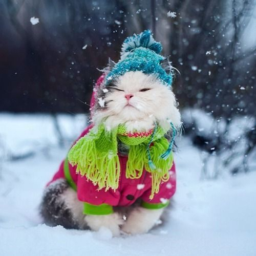 Persian dressed for Winter ~