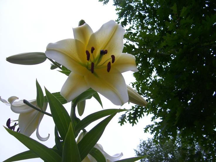 A beautiful Lily.