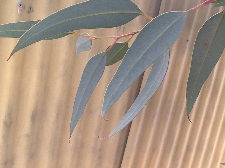 gum tree at the back of the school  #gumtreeatschool