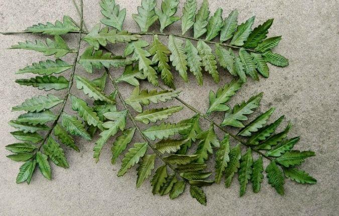 Sugar fern. Aj výplňovú zeleň niekedy treba - papraď Athyrium otophorum