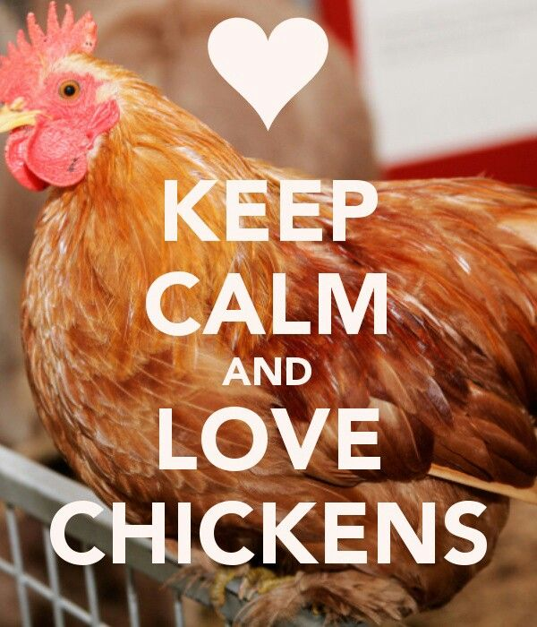 Chickens! So relaxing I could watch them all day = happiness.